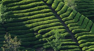 """""""全国三十座最美茶园""""--欣龙生态园"""
