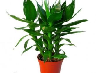 种植富贵竹需要注意什么